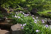 Japanische Sumpfiris am Ufer