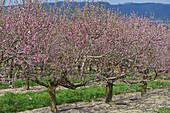 Nectarine trees with pink blossom