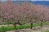 Rosa blühende Nektarinenbäume