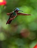 A hummingbird in Selvatura Park, Monteverde, Costa Rica, Central America