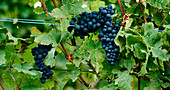 Red wine grapes on a vine in a vineyard in Alsace