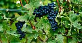 Rotweintrauben an der Rebe, Weinberge, Elsass
