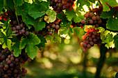 Weintrauben an der Rebe, Weinberge, Elsass