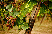 Grapes on a vine in a vineyard in Alsace
