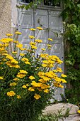 Goldgarbe (Achillea filipendulina) 'Coronation Gold'