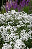 Gefüllte Bertramsgarbe (Achillea ptarmica) 'Schneeball'