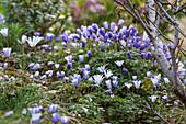 Balkan-Strahlenanemone als Frühlingsboten im Garten