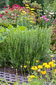 Rosmarin im blühenden Garten