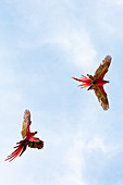 Scarlet macaws flying over Playa Blanca, Osa Peninsula, Costa Rica, Central America