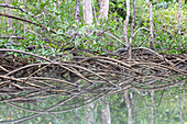 Protruding mangrove roots near Playa Blanca, Osa Peninsula, Costa Rica, Central America