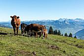 Kühe auf der Weide, im Hintergrund Bergpanorama von der Rigi, Luzern, Schweiz