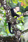 A capuchin monkey in the Manuel Antonio National Park, Puntarenas, Quepos, Costa Rica, Central America