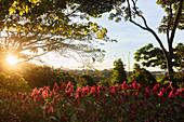 A flowering garden, Costa Rica, Central America
