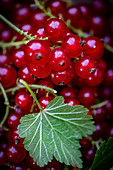 Redcurrants with a leaf (close-up)
