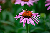 An echinacea flower outside