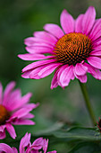 Echinacea flowers outside