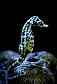 Cape Seahorse