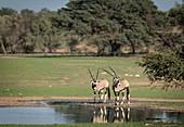 Gemsboks in the Kalahari rainy season