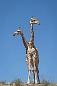 Giraffe in Kgalagadi Transfrontier park
