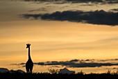 Giraffe at dawn