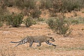 Female leopard stalking