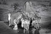 Lion brothers drinking