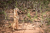 Bipedal yellow mongoose