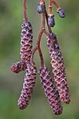 Common alder (Alnus glutinosa)