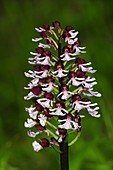Lady orchid (Orchis purpurea)