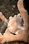 Juvenile giant frogfish