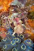 Juvenile coral scorpionfish