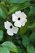 Black-eyed Susan vine (Thunbergia alata) flowers