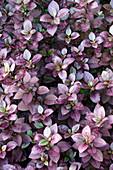Joyweed (Alternanthera brasiliana 'Purple Prince') plants