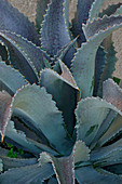 Mangave (Agave 'Silver Fox') plant