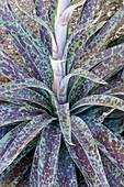 Mangave (Agave 'Inkblot') plant