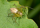 Lynx spider young female