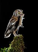 Eurasian scops owl with prey