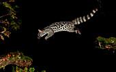 Common genet at night