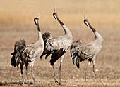 Singing adult common cranes