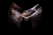 Common pipistrelle flying at night