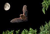 Serotine bat flying at night