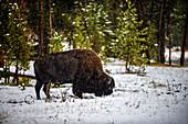 America bison, Yellowstone National Park, USA