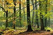 Beech (Fagus sylvatica) trees in autumn