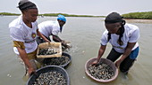 Collecting shellfish