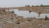Dead mangrove forest, Senegal