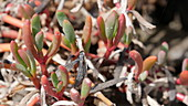 Opposite-leaved saltwort (Salsola soda) plant