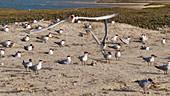 Caspian terns nesting
