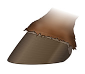 Horse's hoof, illustration