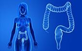 Female colon, illustration
