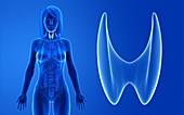 Female thyroid, illustration